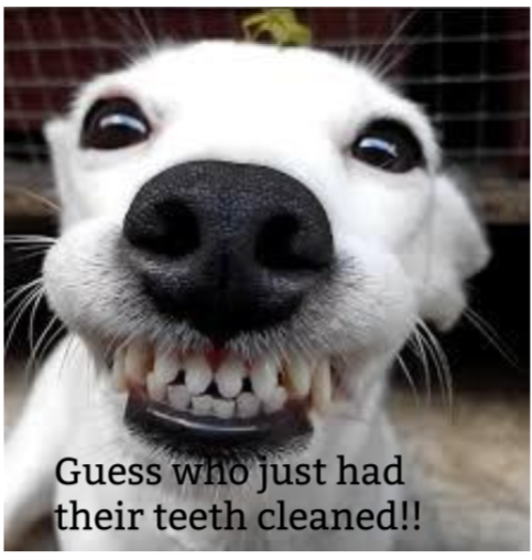 Dog with clean teeth.
